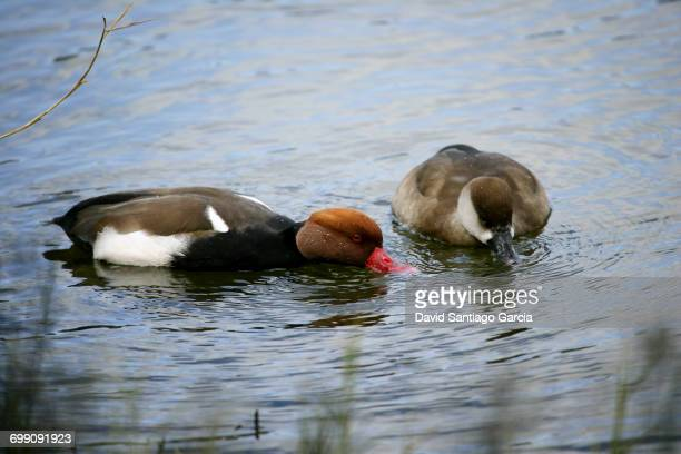 Pair of Red-crested Pochards (Netta rufina) swimming in Daimiel National Park. Ciudad Real. Castilla la Mancha. Spain