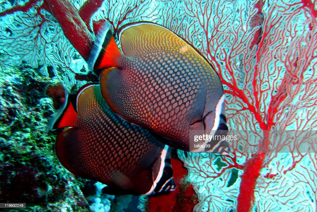 Pair of redtail butterflyfish : Stock Photo