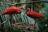 Pair of Scarlet Ibis at Nest