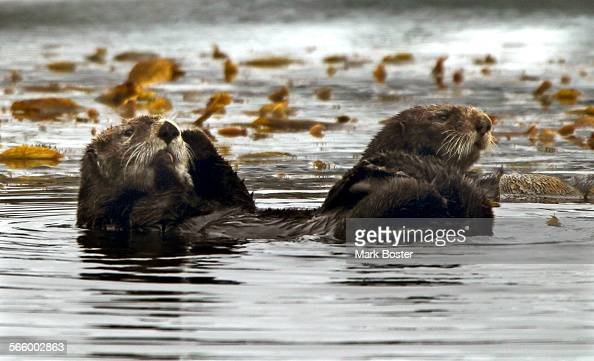A pair of sea otters float around Monterey Bay March 25 2013 Otters can be spotted along the Monterey Peninsula often mistaken for a clumps of kelp