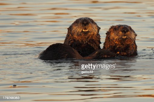 Pair Of Sea Otters : Stock Photo