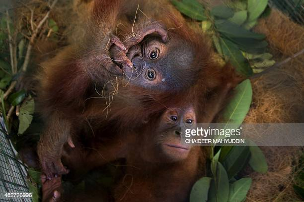 A pair of seized baby orangutans are seen at a police station in Banda Aceh on August 2 2015 Police along with Aceh province's Natural Conservation...
