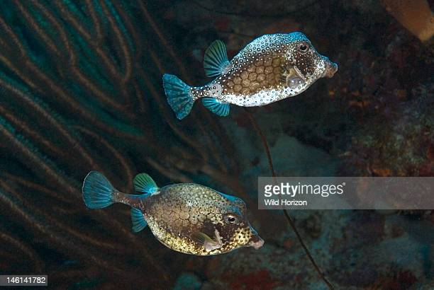 Pair of smooth trunkfish Lactophrys triqueter Curacao Netherlands Antilles