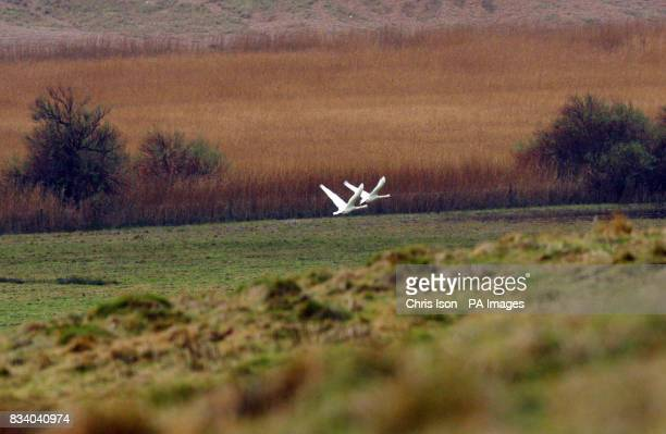 A pair of swans fly over Abbotsbury Swannery at Abbotsbury near Weymouth in Dorset where three birds at the reserve have tested positive for the H5N1...
