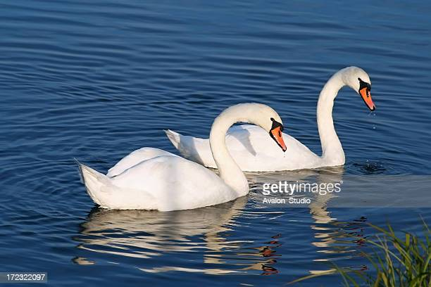 Pair of swans on the water