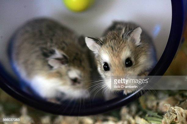 Pair of tiny hampsters in their exercise wheel at Animal Connection on Judah Street where they sell rats and mice and guinea pigs and hamsters and...