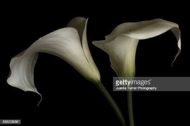 Pair of White Calla Lily Flowers