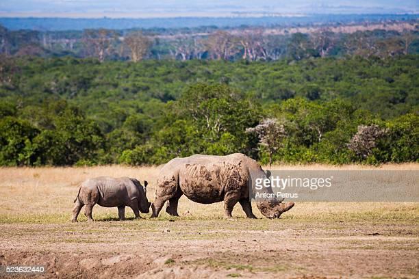 Pair of white rhinos in savanna