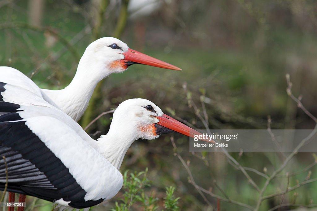 Pair of white storks : Stock Photo