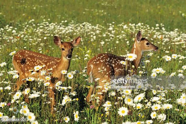 Pair of white-tailed deer (Odocoileus virginianus) fawns in summer wildflowers, Minnesota, USA