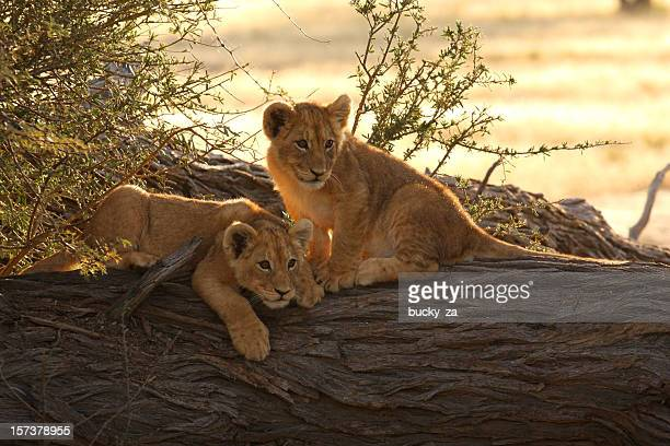 Pair of young lion cubs baklit by a sunrise