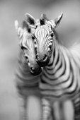 Pair of zebra's