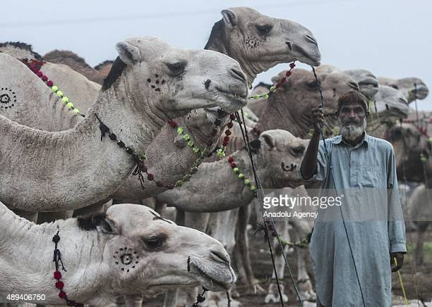 Pakistani camel trader waits for the customers at an animal market set up for the upcoming Muslim sacrificial festival 'Eid alAdha' on September 21...