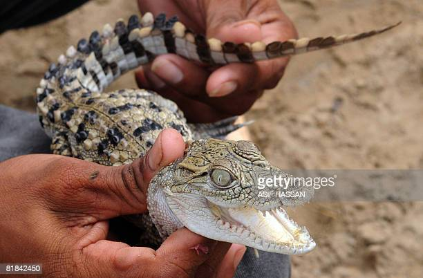 A Pakistani devotee shows a baby crocodile during the third day of the Sheedi festival at the Manghopir Shrine on the outskirts of Karachi on July 6...