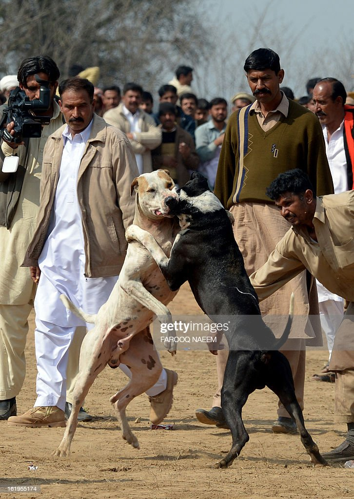 Pakistani dog handlers supervise a dog fighting match in Chakwal, around 100 kilometers from Islamabad on February 17, 2013. Dog fighting and other forms of animal fighting are common in rural areas of Pakistan where some 70 percent of the population of 167 million reside. AFP PHOTO/Farooq NAEEM