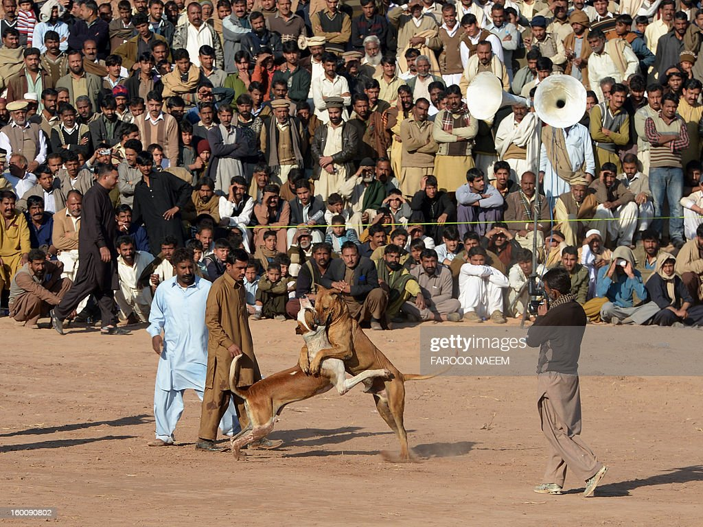 Pakistani dog handlers supervise a dog fighting match in Islamabad on January 26, 2013. Dog fighting and other forms of animal fighting are common in rural areas of Pakistan where some 70 percent of the population of 167 million reside. AFP PHOTO/Farooq NAEEM