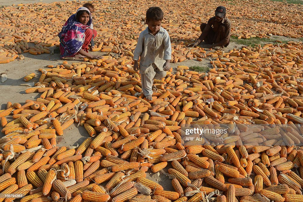 Pakistani farmers and children are pictured with harvested corn following the execution of Ajmal Kasab who was hanged in an Indian prison at Kasab's...