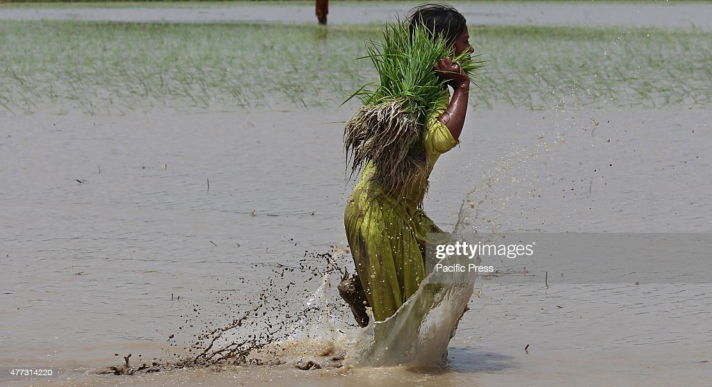 Pakistani farmers busy in sapling the rice for paddy nursery of rice plants from a field for re-plantation in a traditional way in subarea Lahore. A paddy field is a flooded parcel of arable land used for growing semiaquatic rice. Paddy cultivation should not be confused with cultivation of deep water rice, which is grown in flooded conditions with water more than 50 cm (20 in) deep for at least a month.