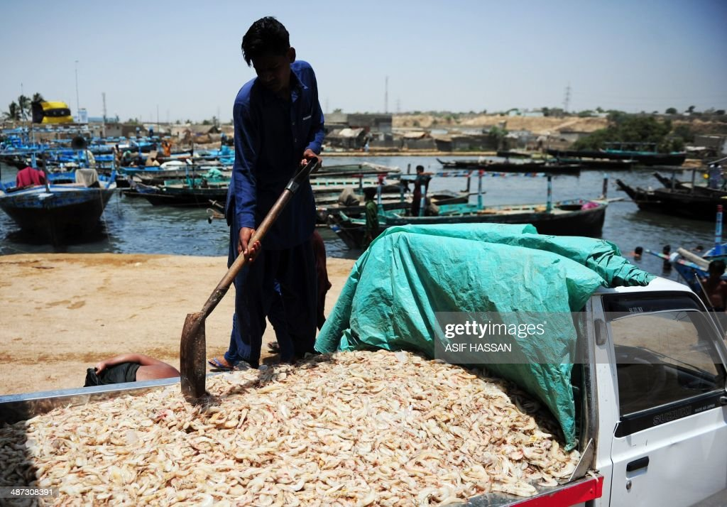 A Pakistani fisherman loads prawns on to a van in Karachi on April 29, 2014. With a coastline stretching some 814 kms, fishing provides a livelihood for those living in parts of Pakistan's southern provinces of Sindh and Balochistan. AFP PHOTO/Asif HASSAN
