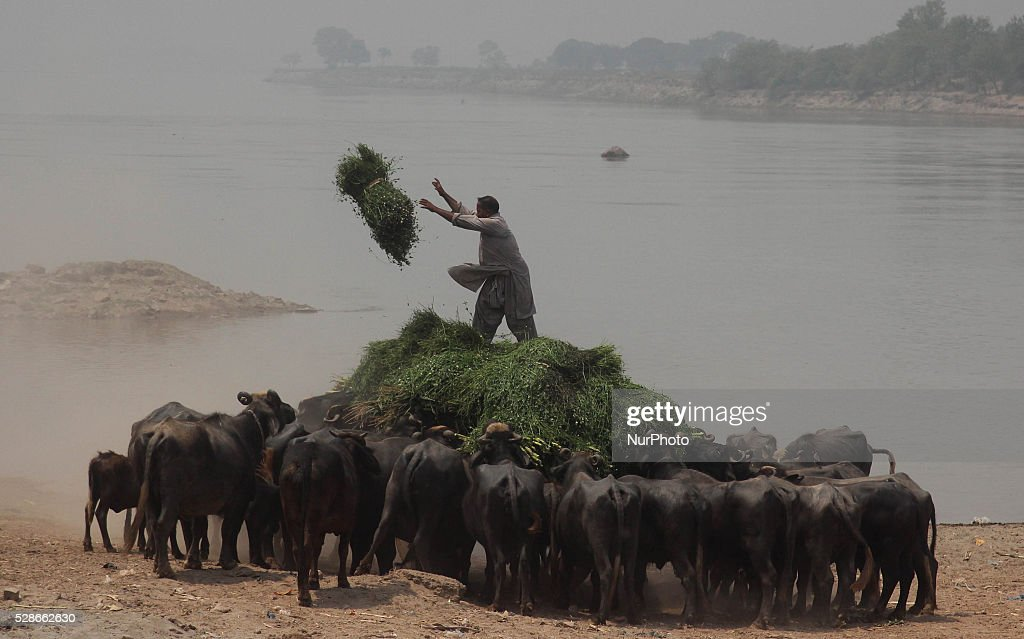 A pakistani man throw the food toward buffaloes in Lahore, May 06, 2016, Pakistan.