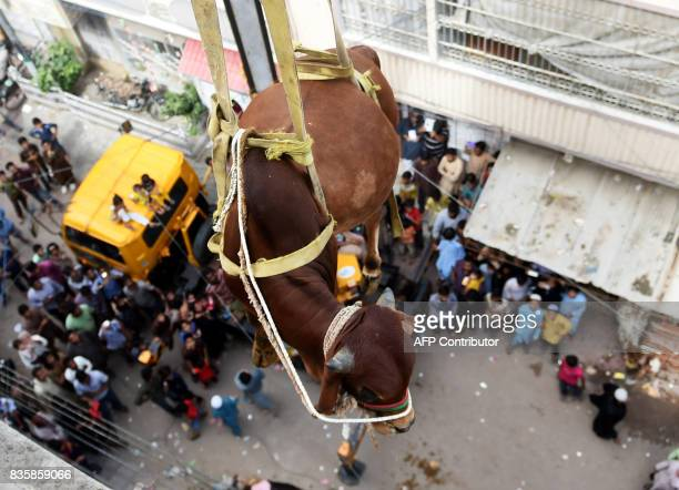 Pakistani men use a crane to lift a young bull from the roof of a building during preparations for the annual Muslim annual festival of Eid alAdha in...
