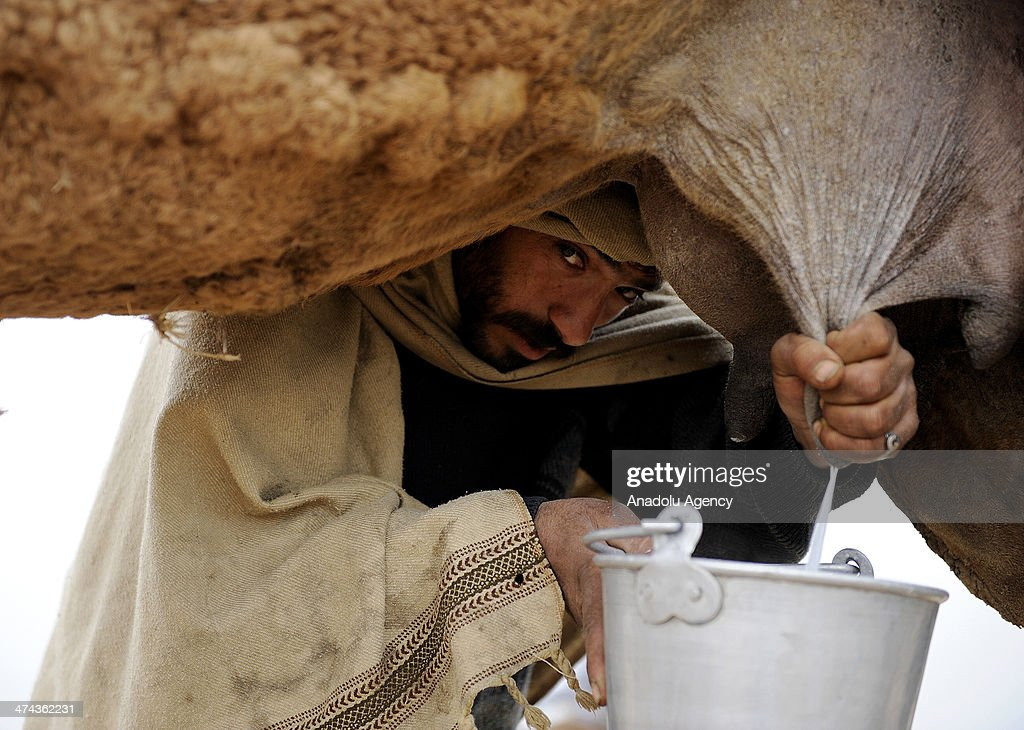 Pakistani milkmen are trying to sell camel milk on the road side between the Islamabad and Rawalpindi on February 22, 2014. Milkmen and their child wait on the road side all day and their camels are not get away.