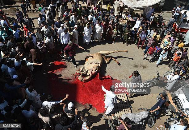 TOPSHOT Pakistani Muslims slaughter a camel on the second day of the Eid alAdha festival in Karachi on September 14 2016 Muslims across the world are...