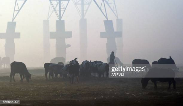 A Pakistani resident herds cattle amid fog in Lahore on November 21 2017 / AFP PHOTO / ARIF ALI