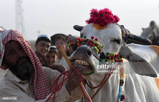 A Pakistani seller shows the teeth of a cow at a livestock market ahead of the sacrificial Eid alAdha festival in Quetta on September 22 2015 Muslims...