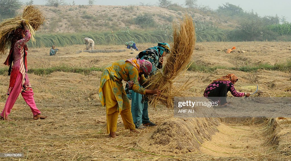 Pakistani villagers separate rice after harvesting rice paddy on the outsikets of Lahore on November 14, 2012. Around 68 percent of Pakistan's population depends on agriculture for their livelihood, with the agricultural sector contributing nearly a fourth of the country's GDP. AFP PHOTO/Arif ALI