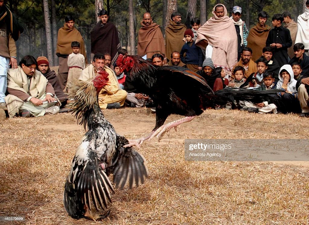 Pakistanis watch a cockfight in Kotli Sattian, 50 kilometers north of Islamabad, Pakistan, on January 13, 2014. Cockfight, a popular game in rural Pakistan during the winter, is a blood sport between two roosters which are specially bred birds, conditioned for increased stamina and strength.