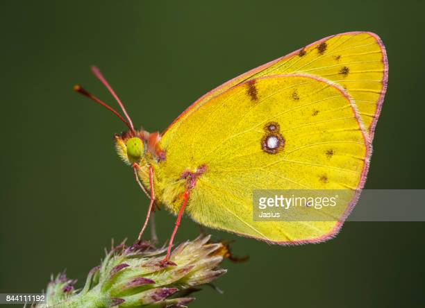 Pale Clouded Yellow butterfly