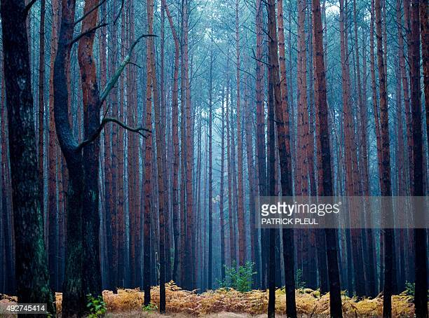 Pale light hangs in a pine forest during a rainy autumn morning on October 15 2015 near Fuerstenwalde eastern Germany AFP PHOTO / DPA / PATRICK PLEUL...