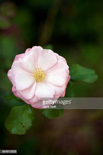Pale pink french rose (Rosa gallica) on th plant