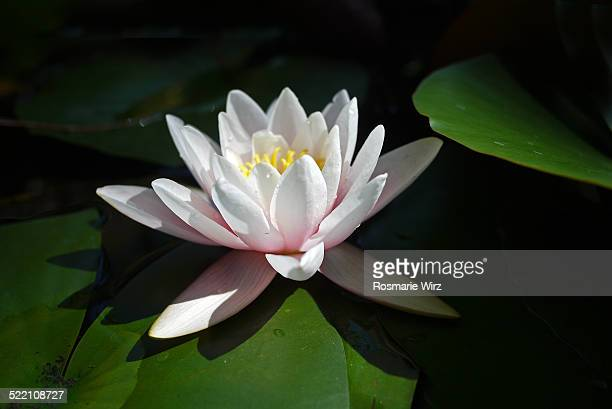 Pale pink water lily