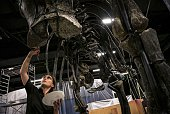 A paleontologist pieces together the bones of a dinosaur on September 10 2014 at the Musee des Confluences a science centre and anthropology museum...