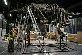 Paleontologists look at a dinosaur while its bones are pieced together on September 10 2014 at the Musee des Confluences a science centre and...
