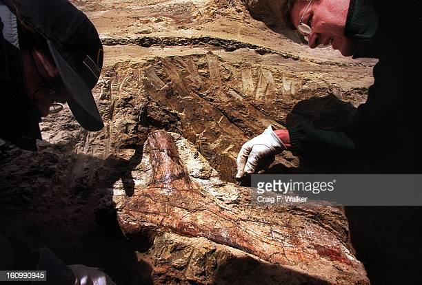 Paleontology curator Kirk Johnson of the Denver Museum of Nature Science right and Intern Erin Steele prepare to remove a Triceratops rib from the...