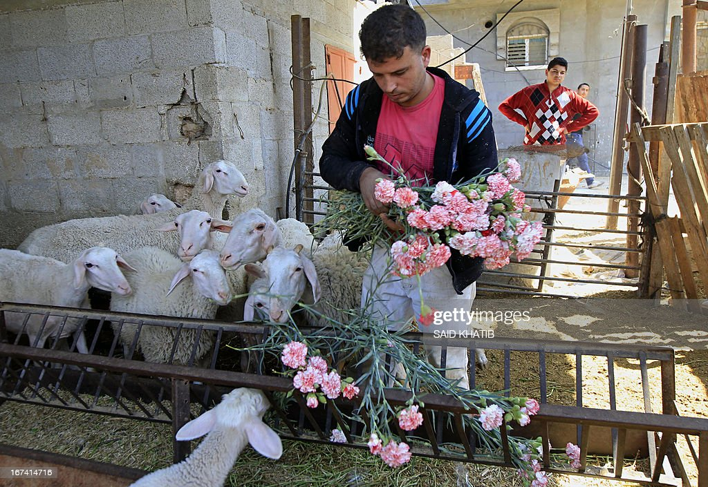 A Palesitinian farmer feeds carnation to his sheep at the Hijazi flower farm in Rafah town, in the southern Gaza Strip, on April 25, 2013. Palestinian farmers fed their livestock part of this year's flower crop, a product grown almost exclusively for export to the European market, due to export restrictions, imposed by Israel after the Islamist Hamas party took control of the impoverished strip.