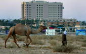 Palestinian Bedouin man leads his camel back to what is called 'the world's oldest city' past the Intercontinental Hotel August 4 2008 at the...