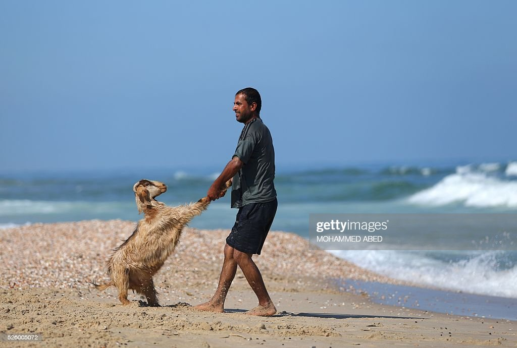 A Palestinian bedouin shepherd pulls a lamb into the water to wash it in Gaza City, on April 29, 2016. Every year before the beginning of the summer, shepherds wash their herds in the sea. / AFP / MOHAMMED