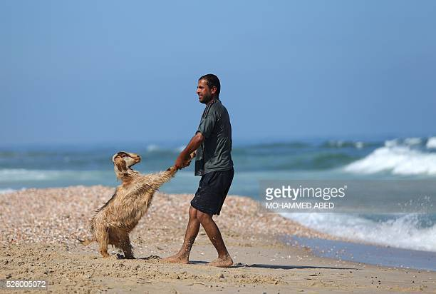 A Palestinian bedouin shepherd pulls a lamb into the water to wash it in Gaza City on April 29 2016 Every year before the beginning of the summer...