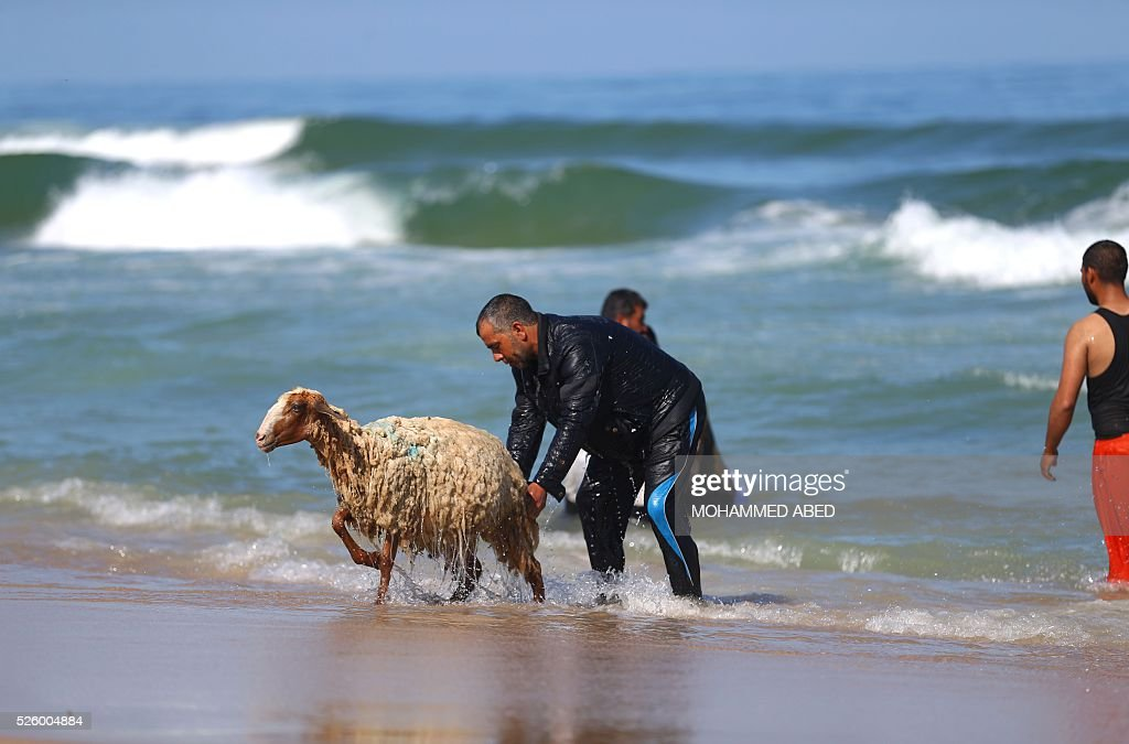 A Palestinian bedouin shepherd pulls a lamb out of the water after washing it in the sea in Gaza City, on April 29, 2016 Every year before the beginning of the summer, shepherds wash their herds in the sea. / AFP / MOHAMMED