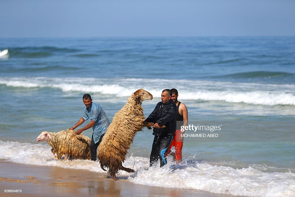 Palestinian bedouin shepherds pull their lambs into the water to wash them, in Gaza City, on April 29, 2016. Every year before the beginning of the summer, shepherds wash their herds in the sea. / AFP / MOHAMMED
