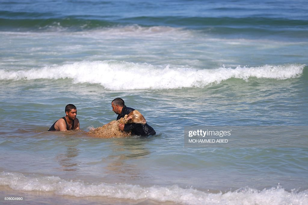 Palestinian bedouin shepherds wash a lamb in the sea in Gaza City, on April 29, 2016. Every year before the beginning of the summer, shepherds wash their herds in the sea. / AFP / MOHAMMED