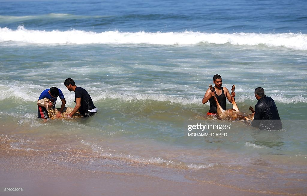 Palestinian bedouin shepherds wash their lambs in the sea in Gaza City, on April 29, 2016. Every year before the beginning of the summer, shepherds wash their herds in the sea. / AFP / MOHAMMED