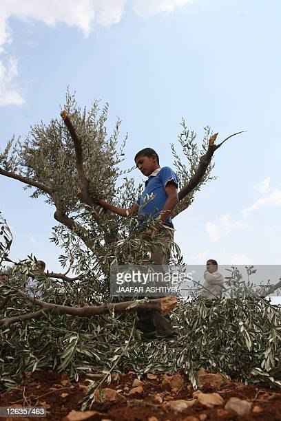 A Palestinian boy holds a broken branch of an olive tree in a grove in the West Bank village of Qusra some 15 kilometres southeast of Nablus after...