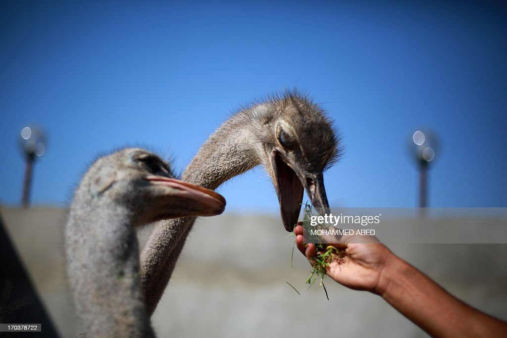 Palestinian children feed ostriches during summer camp activities at a public park in Gaza City on June 12, 2013. AFP PHOTO/MOHAMMED ABED