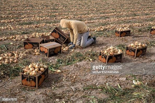A Palestinian employee collects onions as they work on agricultural land belonging to settlers from the Almog settlement in the Israeli occupied West...