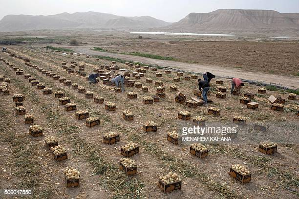Palestinian employees collect onions as they work on agricultural land belonging to settlers from the Almog settlement in the Israeli occupied West...